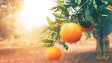 Mandarino, medicina naturale: benefici per la salute, la nobiletina