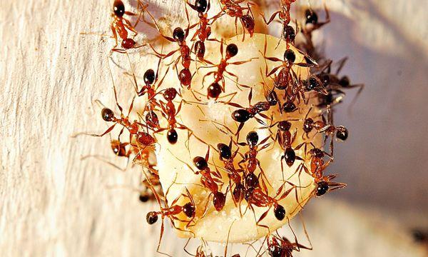 rimedi per eliminare le formiche naturali e chimici